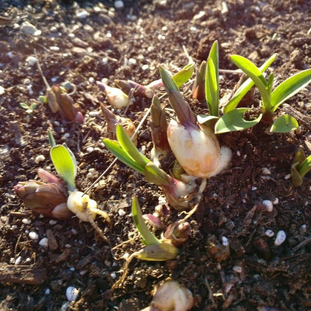 Plant identification help please gardening plantid